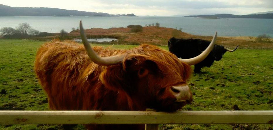 Loch Melfort Highland Cow
