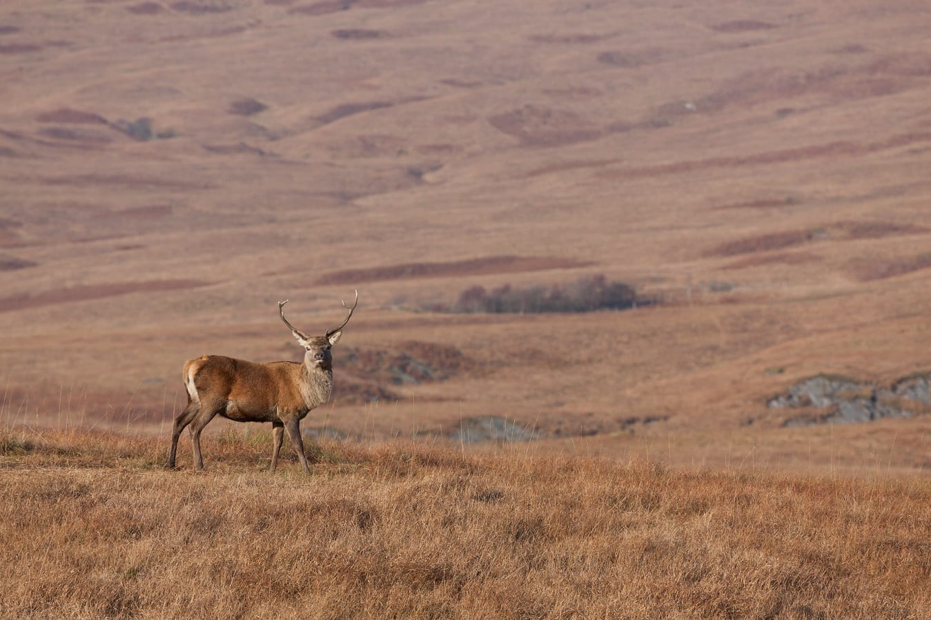 Stag photographed on Jura