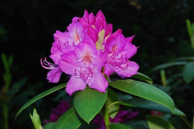 loch melfort hotel oban arduaine rhododendron closeup