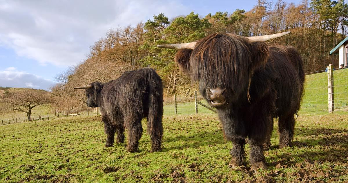 loch melfort hotel oban highland cows horns