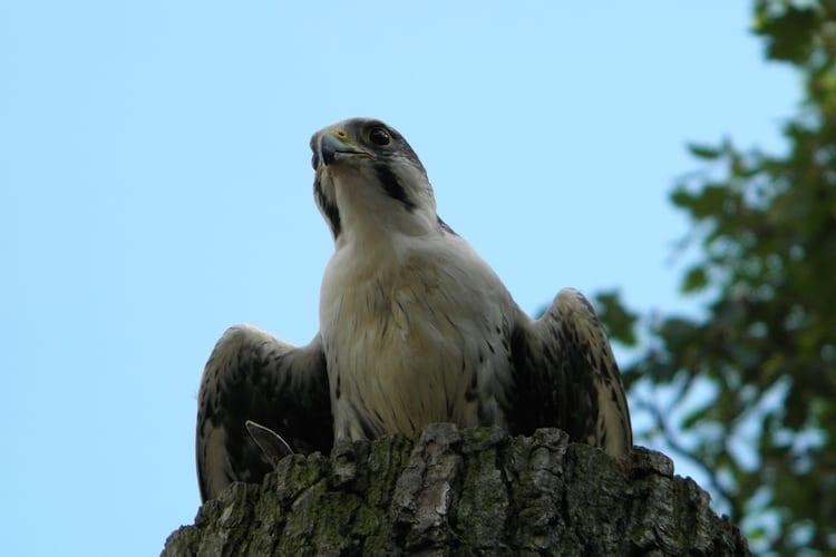 loch melfort hotel oban peregrine falcon
