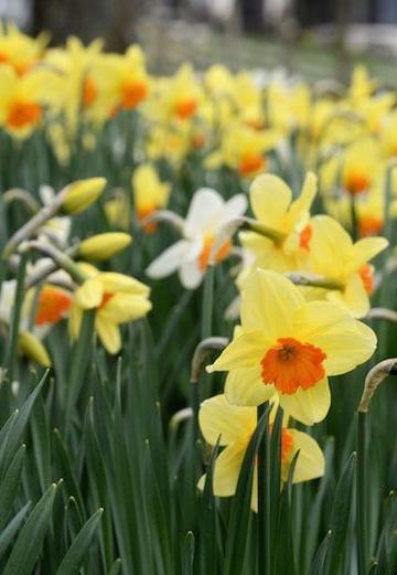 loch melfort hotel oban spring daffodils